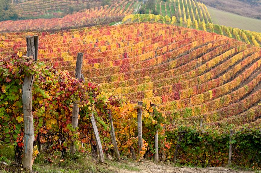 The vineyards of Piedmont