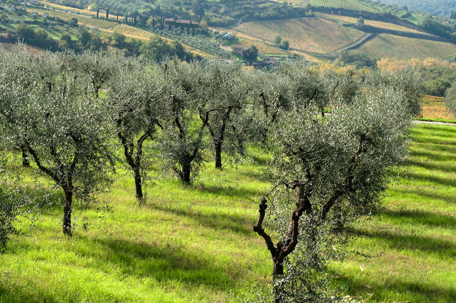 olive groves Tuscany.jpg