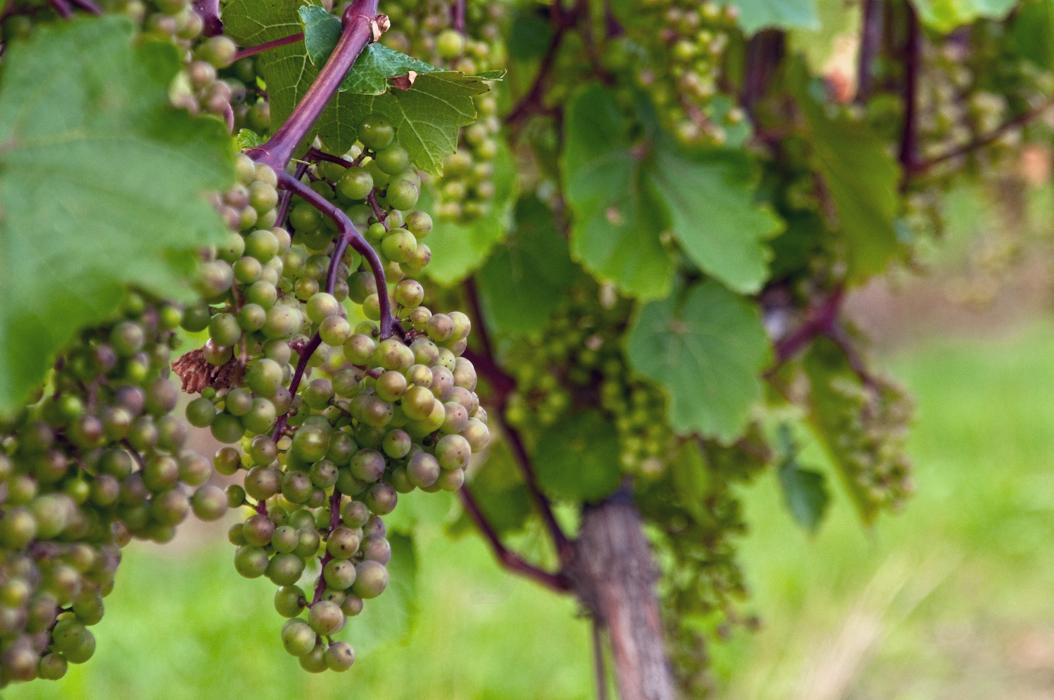 Nova Scotia vineyard