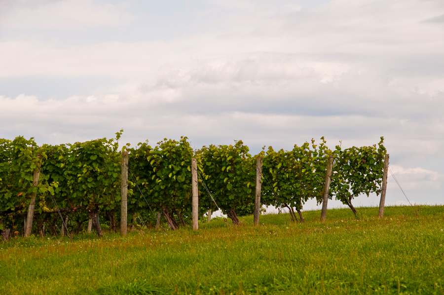 The vines at Avondale Sky.