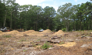 Mulched pine trees