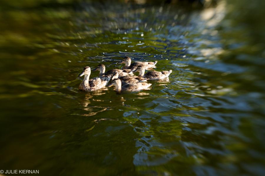 48:2 Ducks in Golden Light