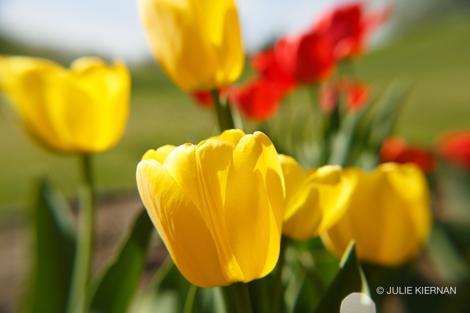 Sue-Tulips-4184.jpg
