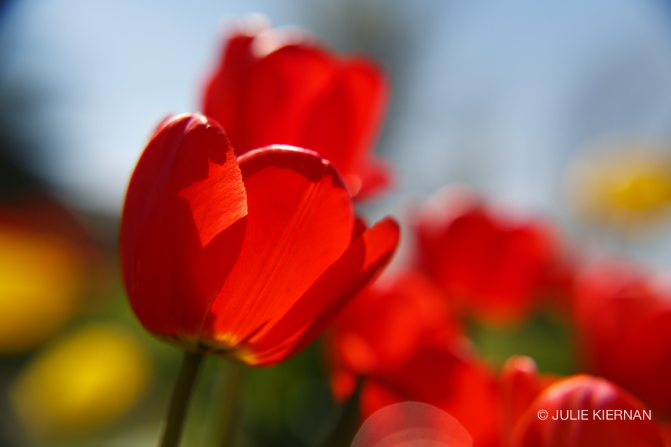 Sue-Tulips-4249.jpg
