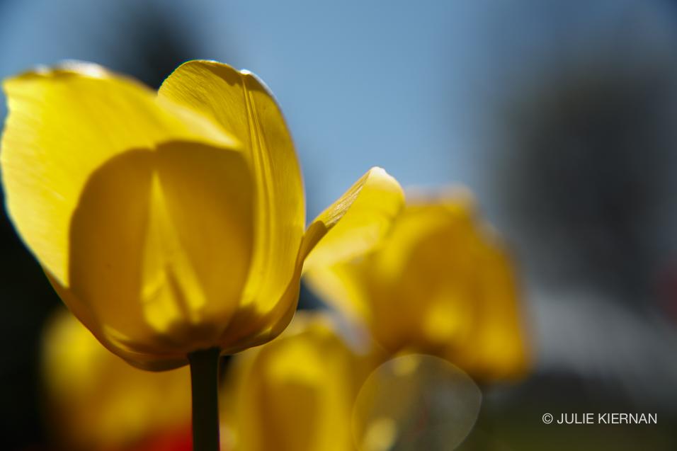 Sue-Tulips-4244.jpg