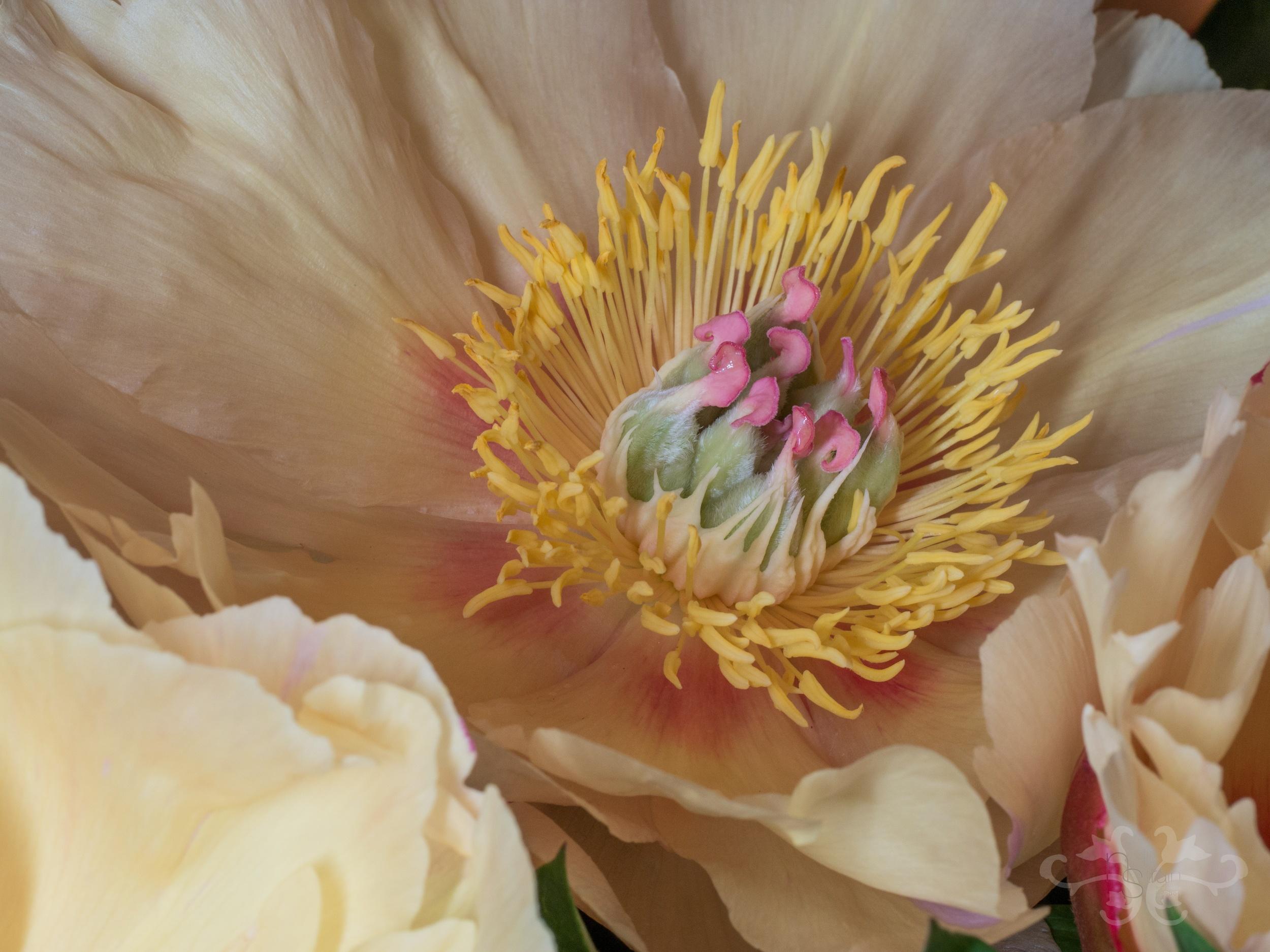 "Peony ""Garden Treasure,"" Intersectional variety created in 1984, semi-double. Photography: John Nassari"