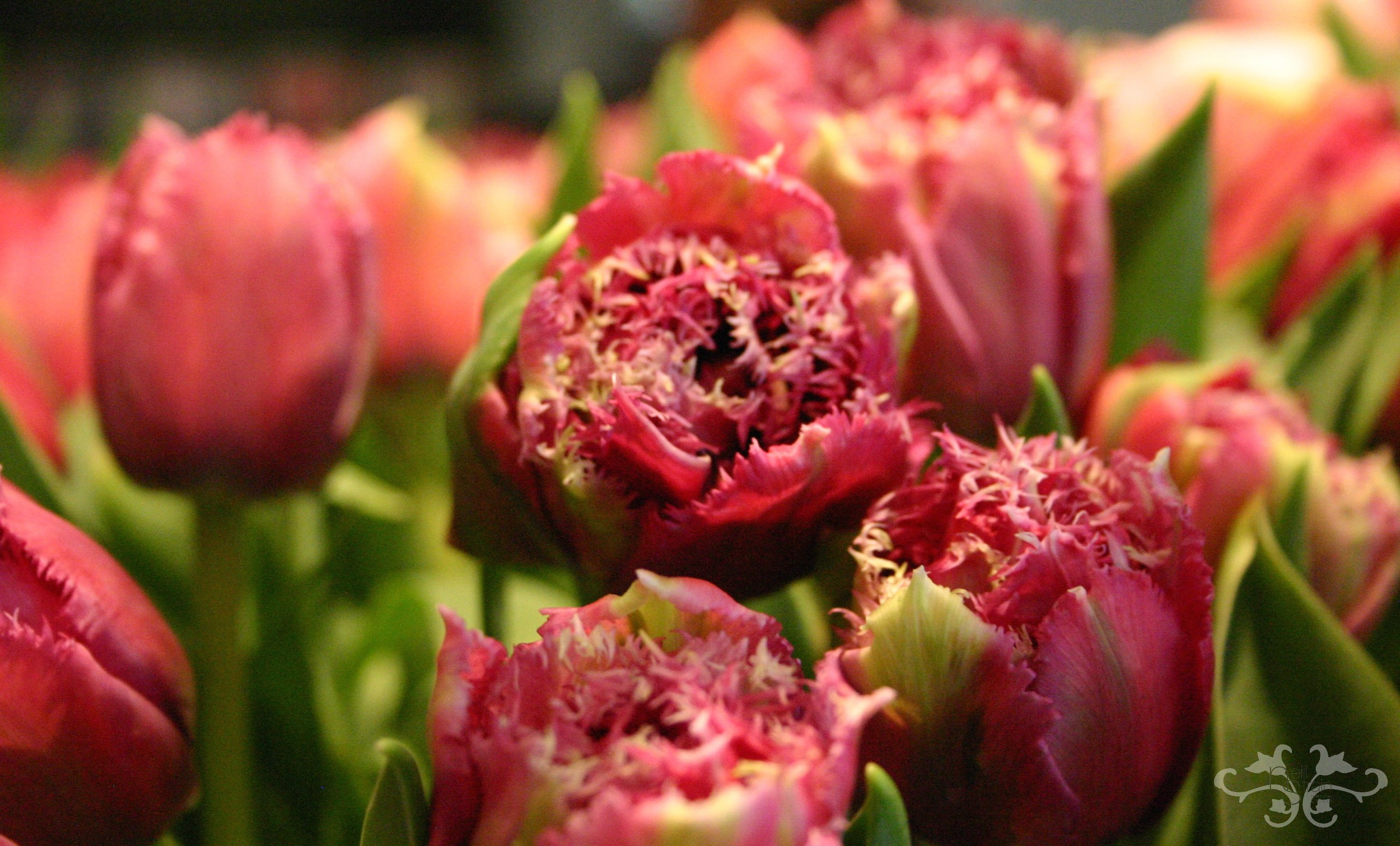 Double, Parrot and Fringe Tulips