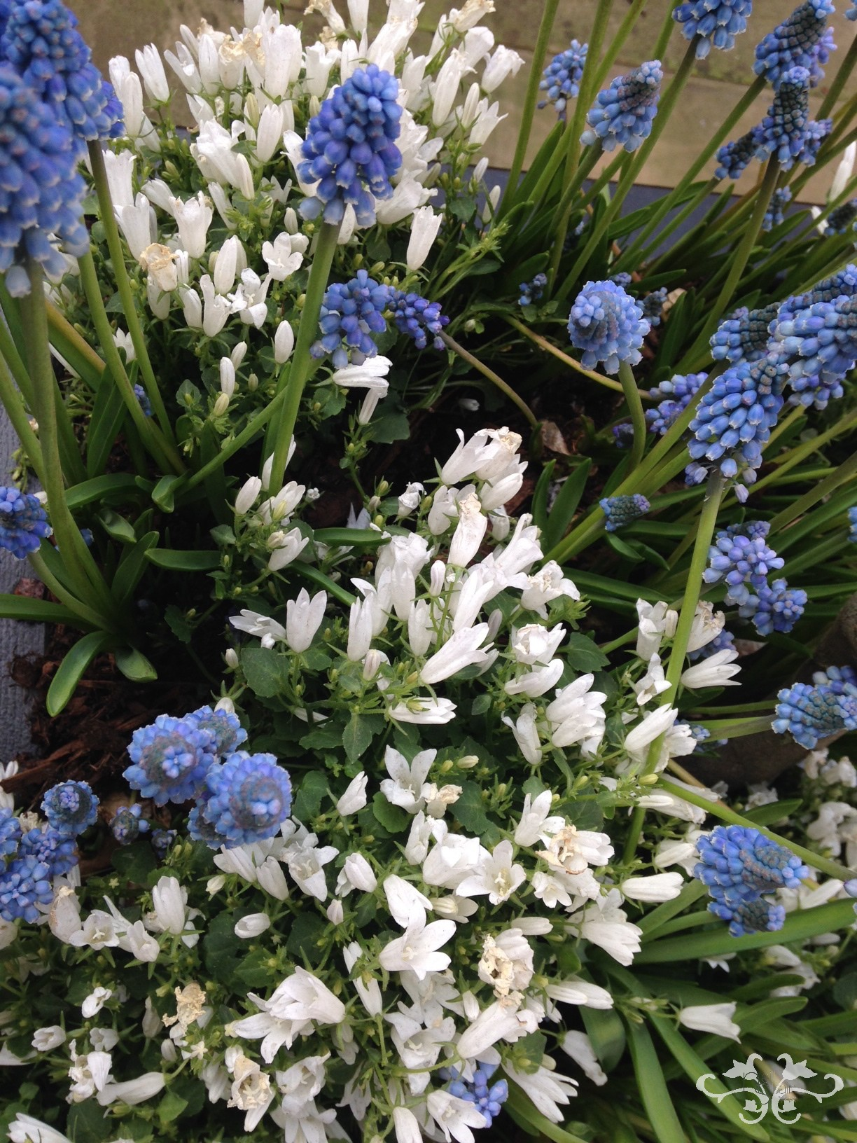 Muscari and Campanule make gorgeous spring planters or window boxes.