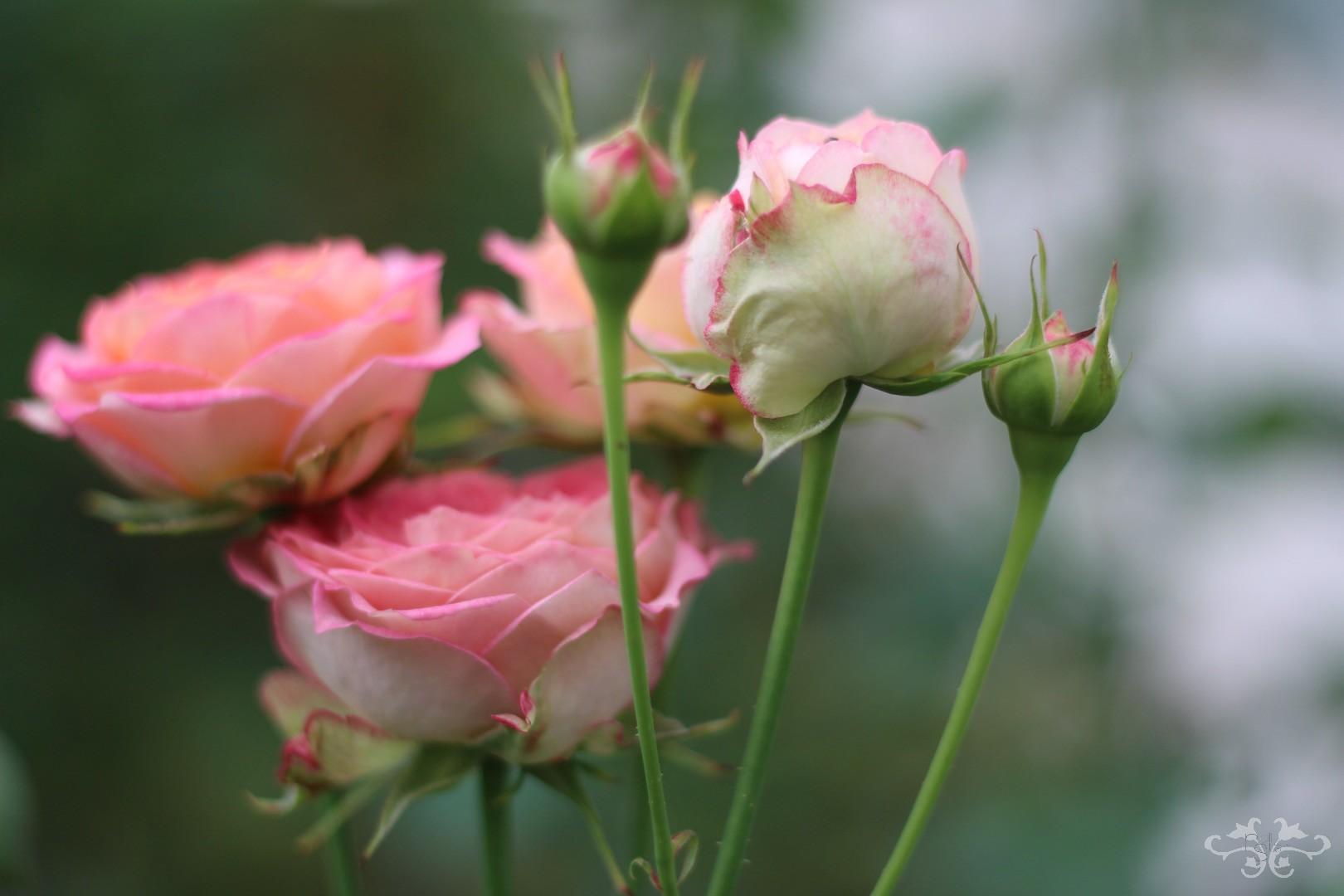 Dozens of new varieties of Roses at the Dutch breeders, De Ruiter, Kordes and Olij