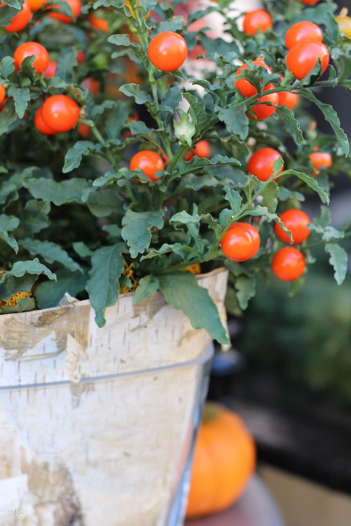 Solanum plants Neill Strain.jpg