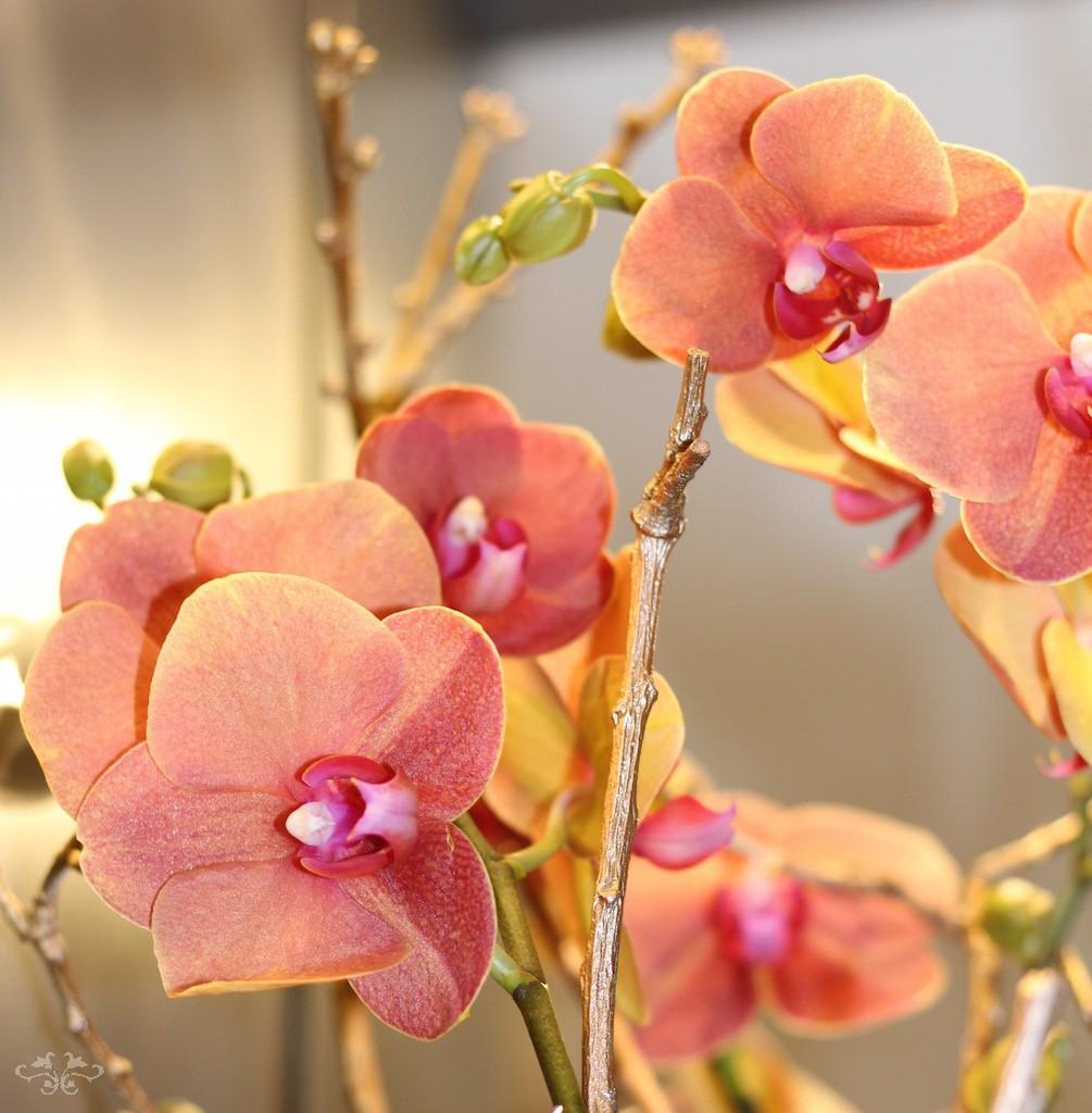 Phalaenopsis Neill Strain.jpg