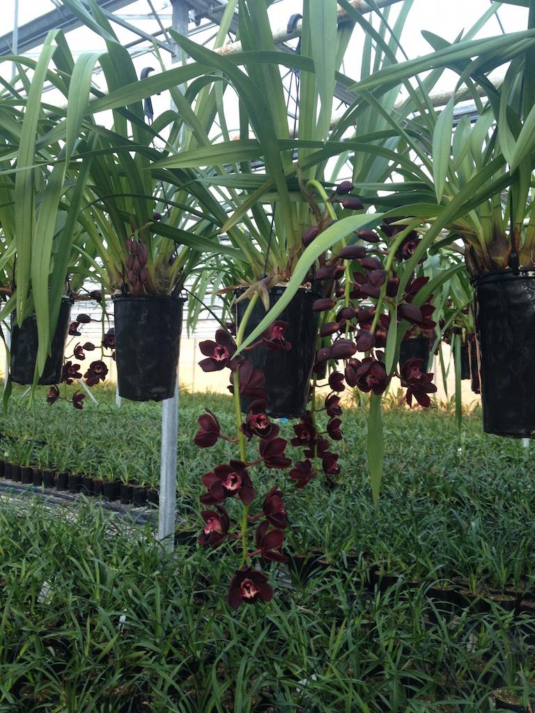 trailing Black Cymbidium LZ Orchids hr.jpg