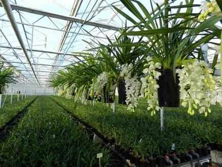 trailing Cymbidium plants Neill Strain.jpg