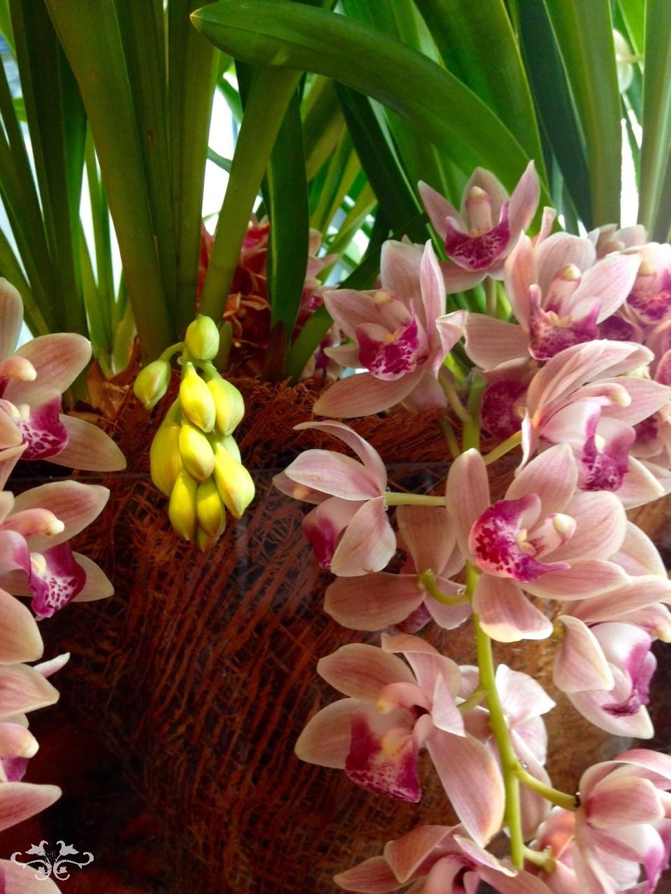 trailing cymbidium orchids.jpg