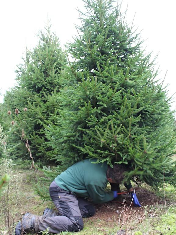 Neill Strain cutting down Christmas tree1.jpg