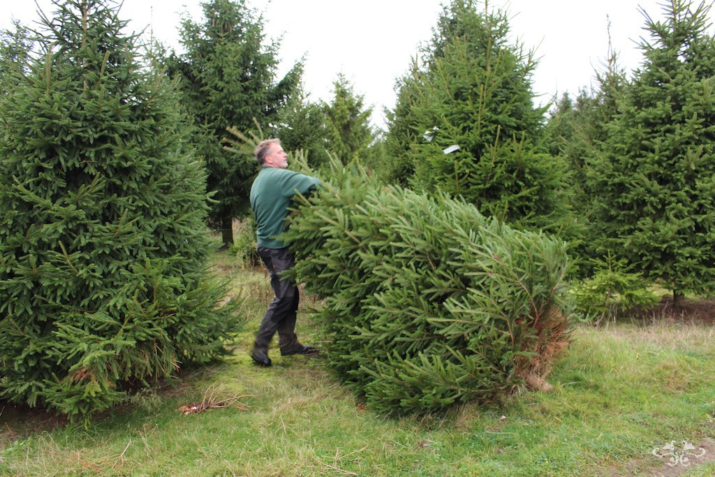 Neill Strain cutting down Christmas tree4.jpg