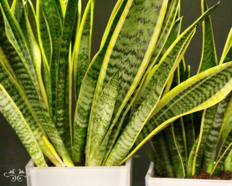 "Sansevieria ""Mother-in-law's Tonque"" houseplants designed by Neill Strain"