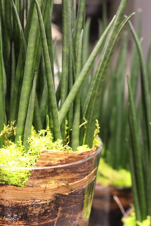 A variety of Sansevieria Mikado plants, originally from Brazil, that help create humidity in the air.