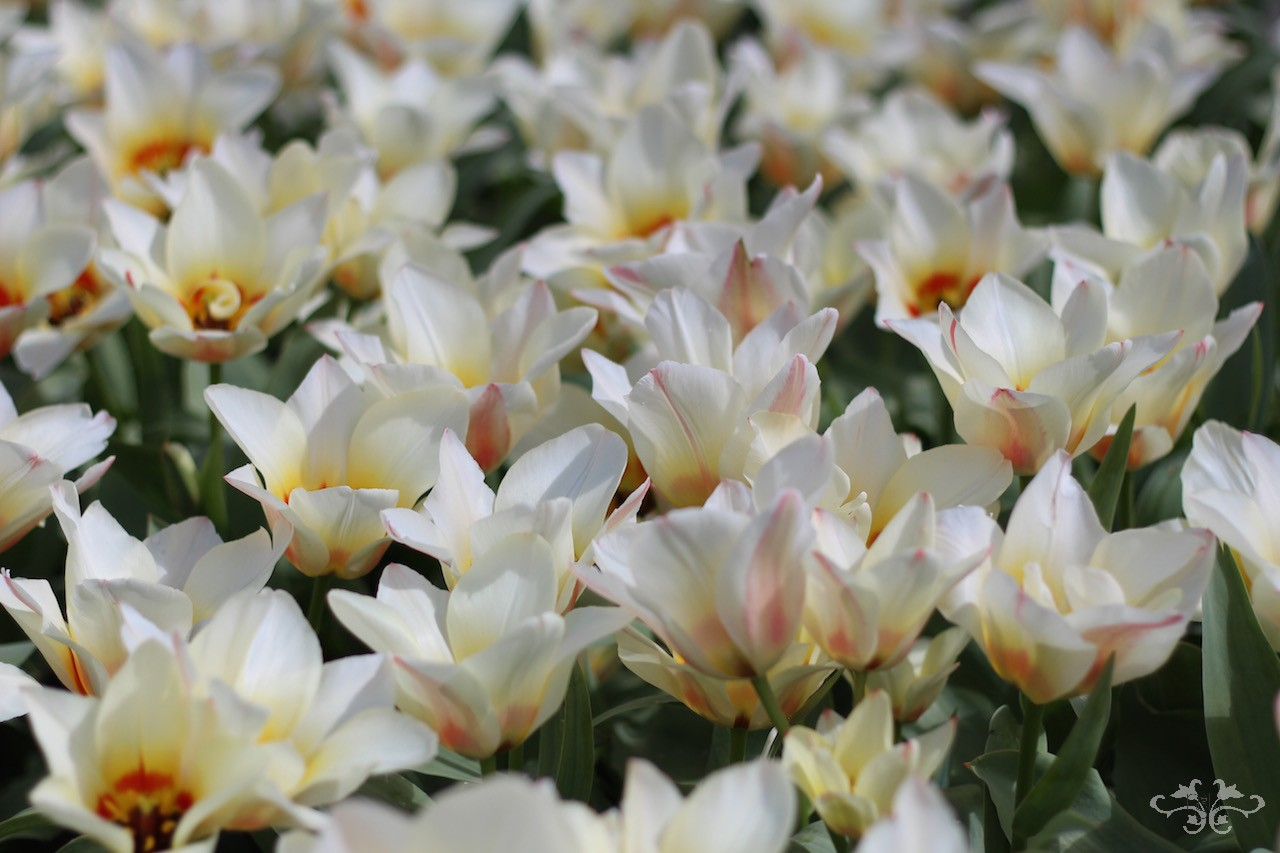 Garden Tulips are grown for their bulbs in south Holland where the good soil makes attractive, soft-skinned bulbs.