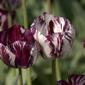 phoca_thumb_m_rembrandt-adonis-1915-02.jpg