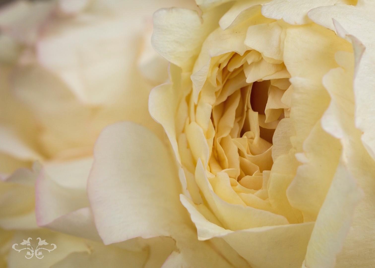 Golden_White_V7A2446.jpg