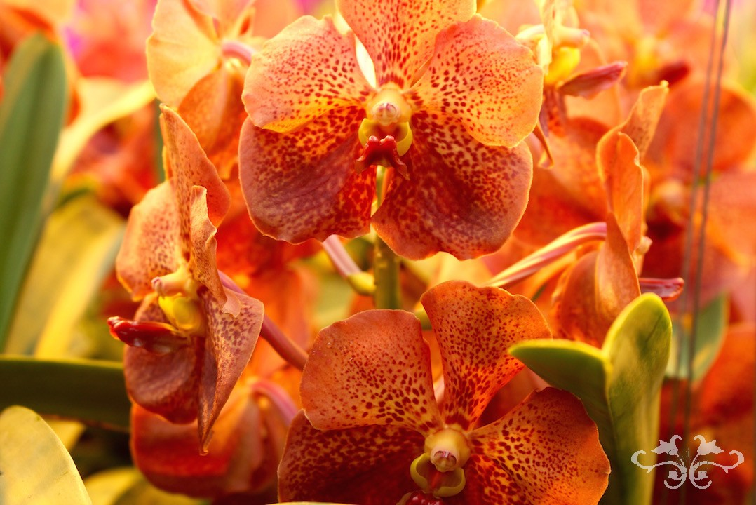 "ANCO Vanda ""Lava,"" another one of our favourites at Neill Strain Floral Couture"