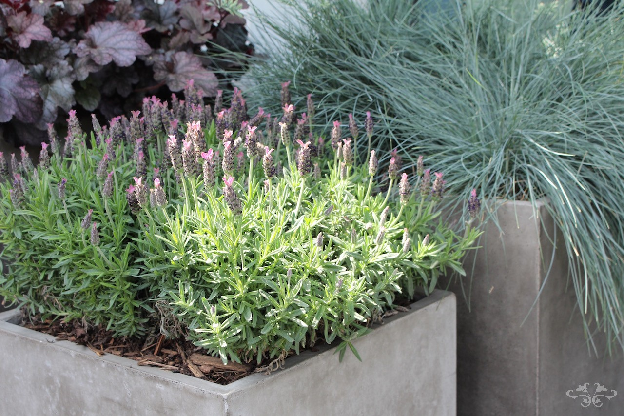 We design patio installations with different forms, colours and textures as shown here with French Lavender, Heuchera Villosa and Festuca Glauca grasses.