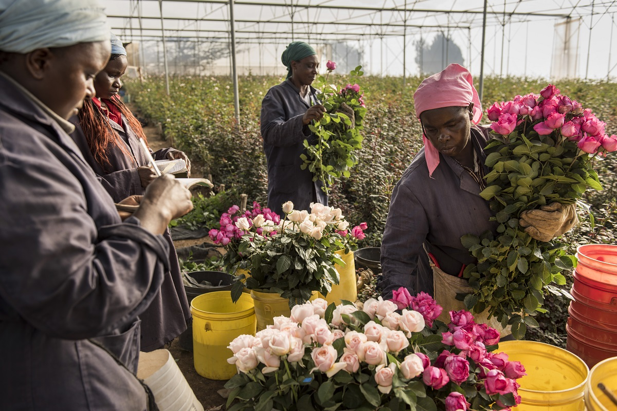 Damasque Roses being picked for Neill Strain Floral Couture at the farm in Kenya.
