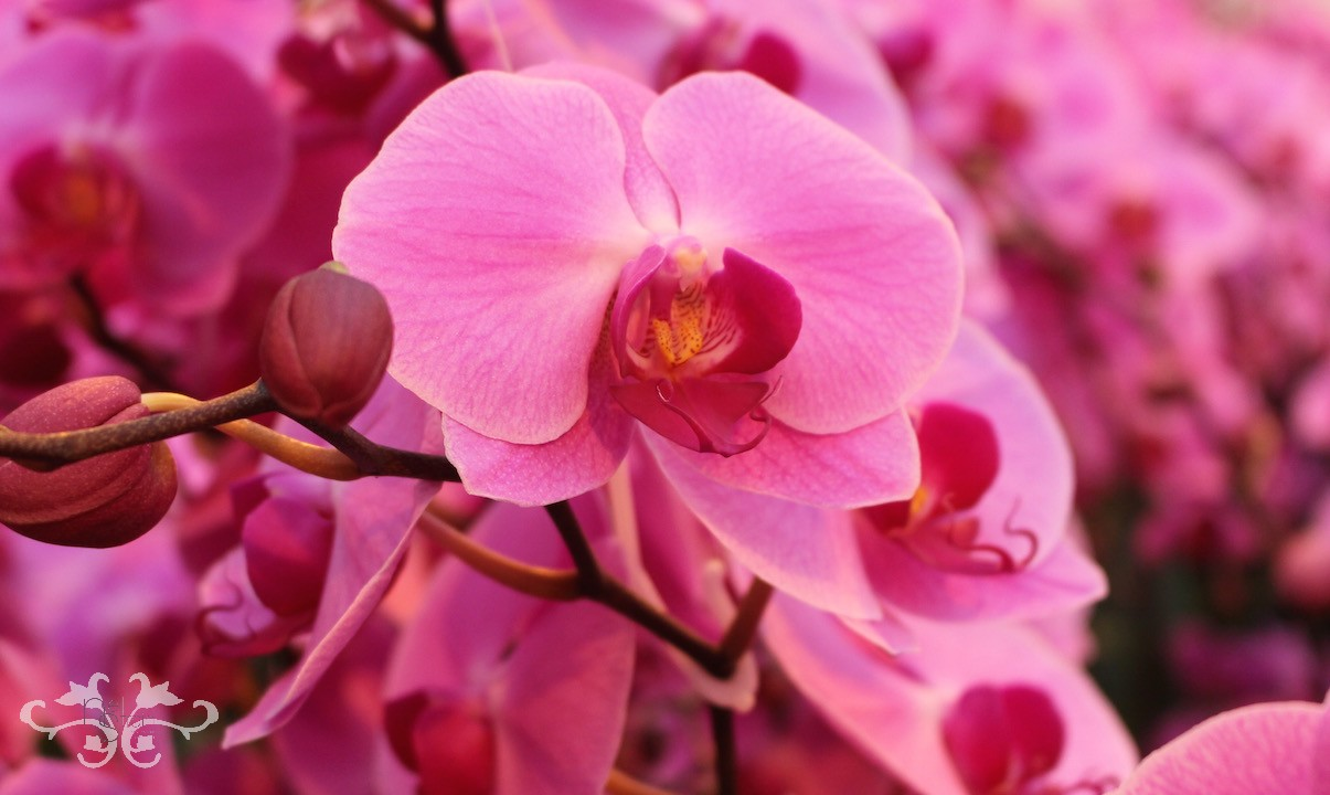Surabaya+Phalaenopsis+Orchids+at+Neill+Strain+Belgravia.jpeg