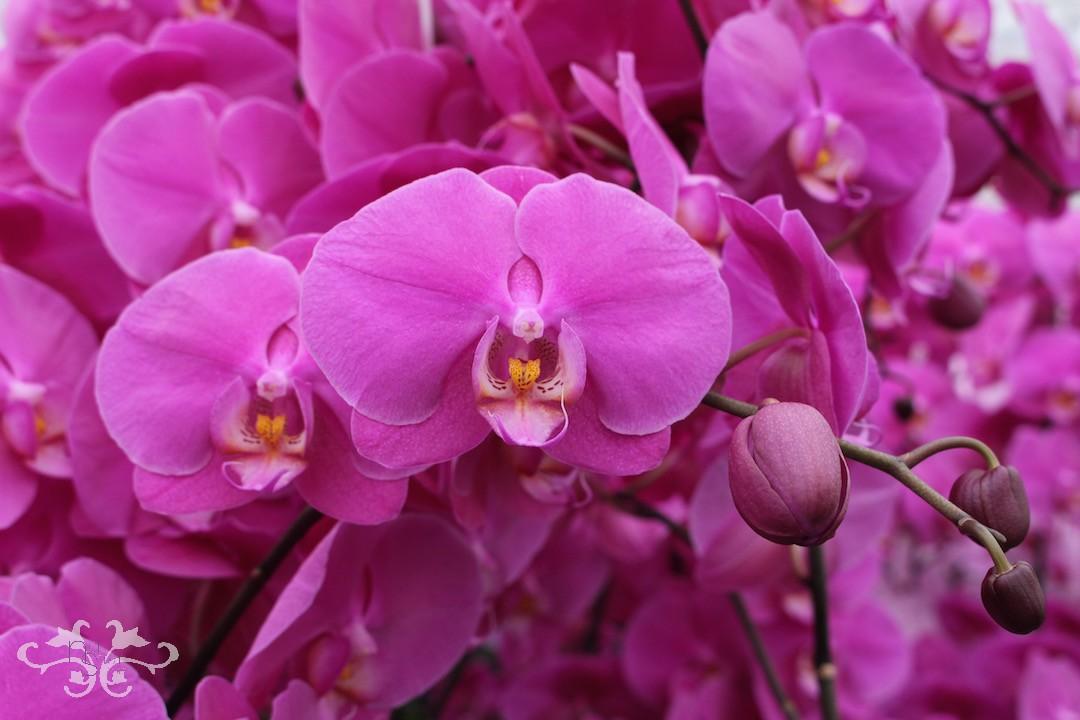 Neill+Strain+Phalaenopsis+Orchids+Belgravia.jpeg