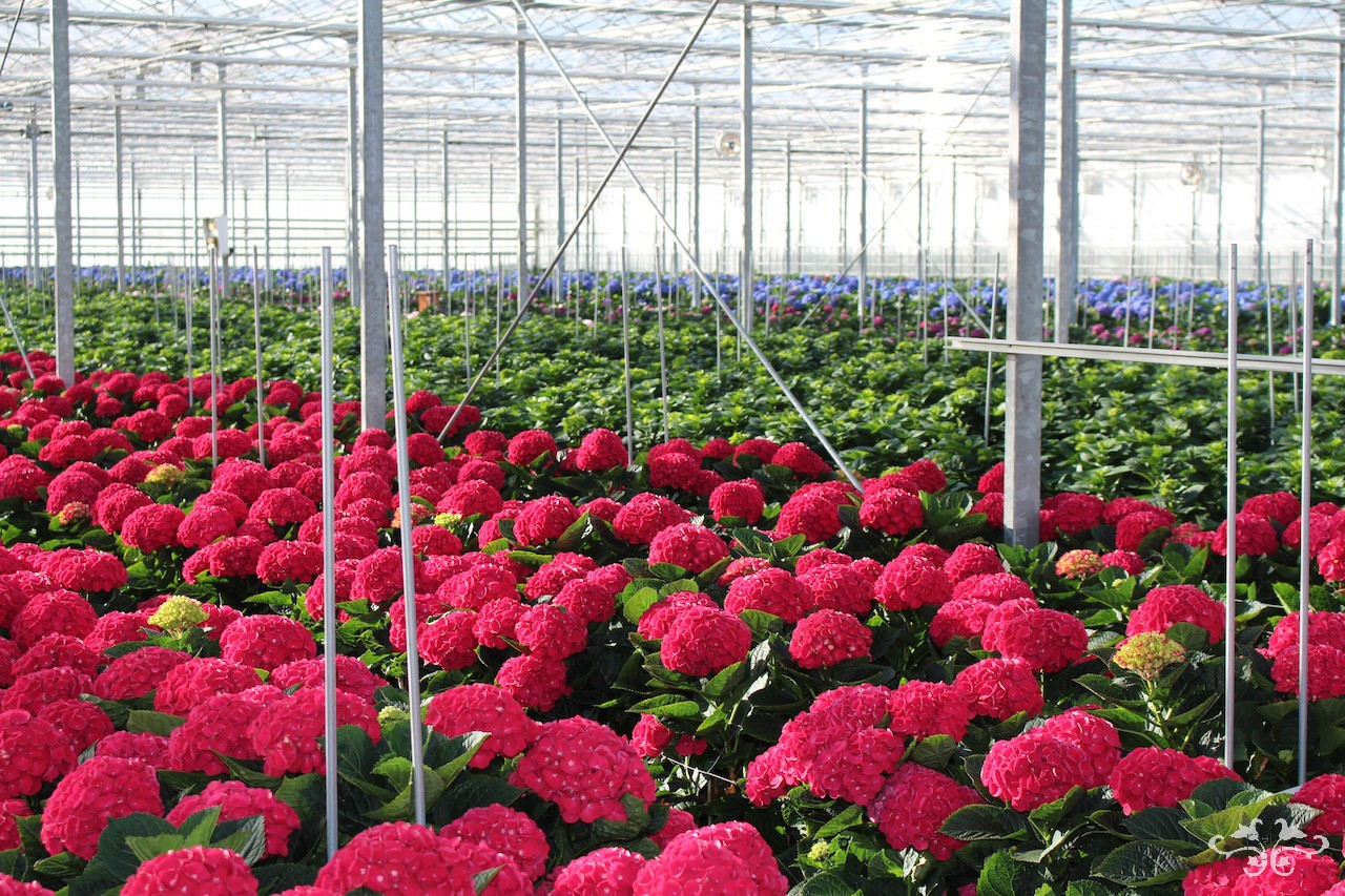 Neill Strain sourcing Dutch Hydrangeas