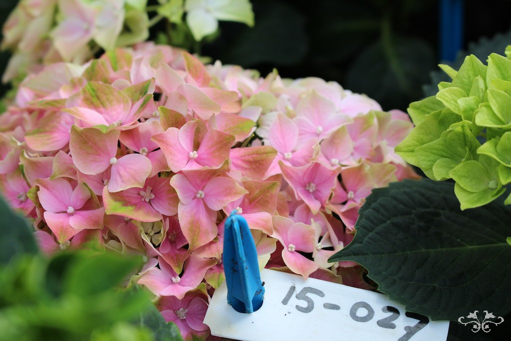 New varieties of Hydrangea at the breeder, Kolster, in development stages