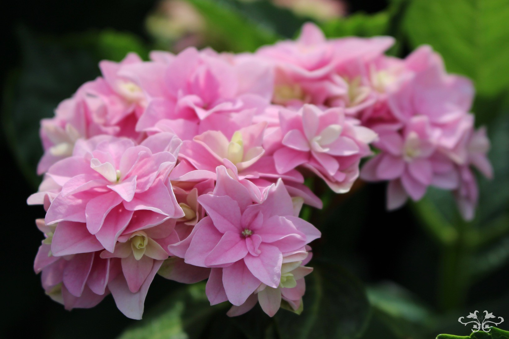 New varieties of Hydrangea being developed at Kolster in Holland
