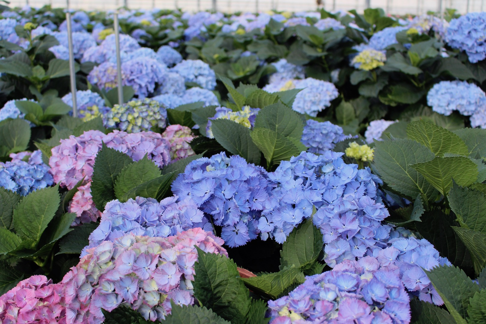 Examples of Hydrangeas changing colour on the plant.