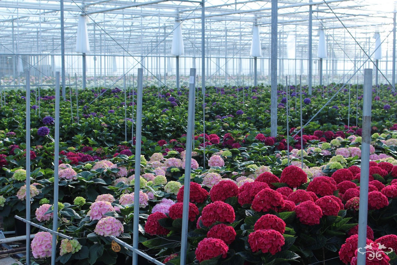 Neill Strain sourcing luxury Hydrangeas