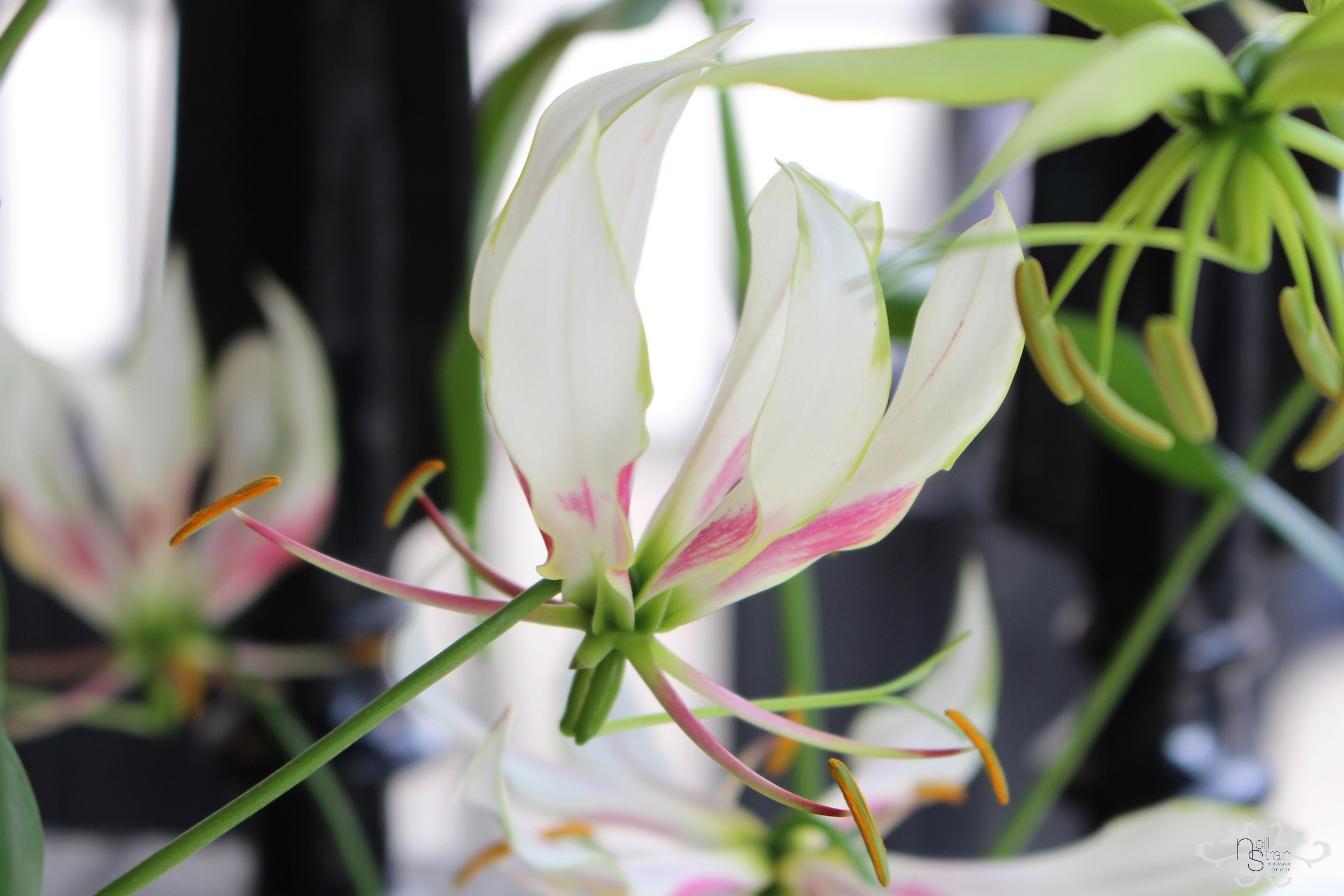 "Dutch White Gloriosa ""Maria"" was first discovered in 2008"