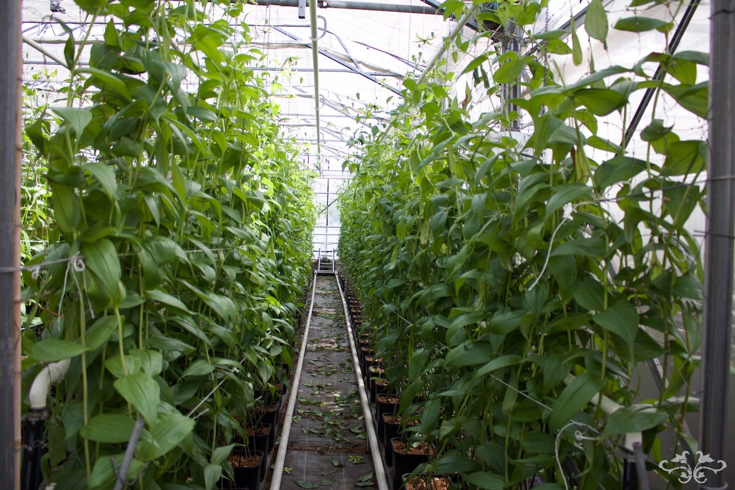 Aisles of Gloriosa plants growing tall at the nursery