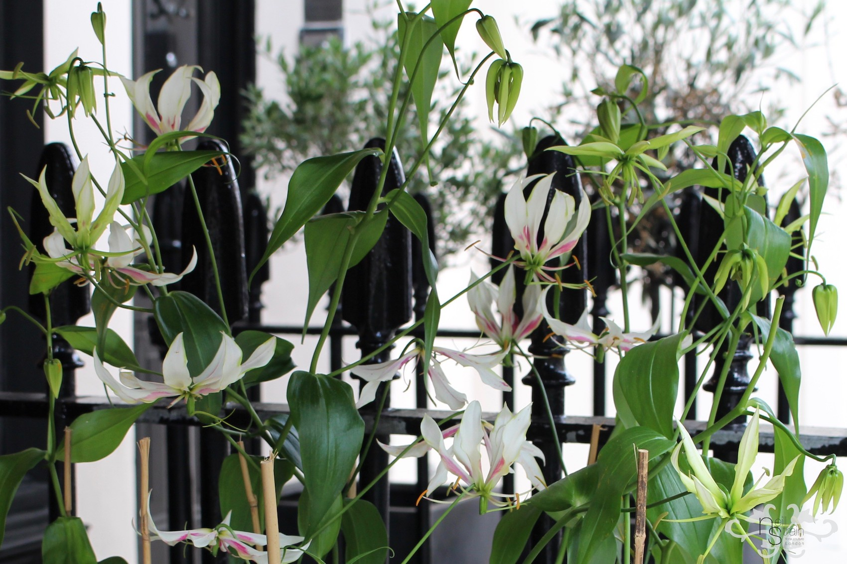 "White Gloriosa ""Maria"" flowering at Neill Strain Floral Couture exclusively for Harrods"