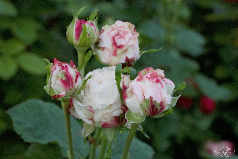 New Spray Rose not yet named...