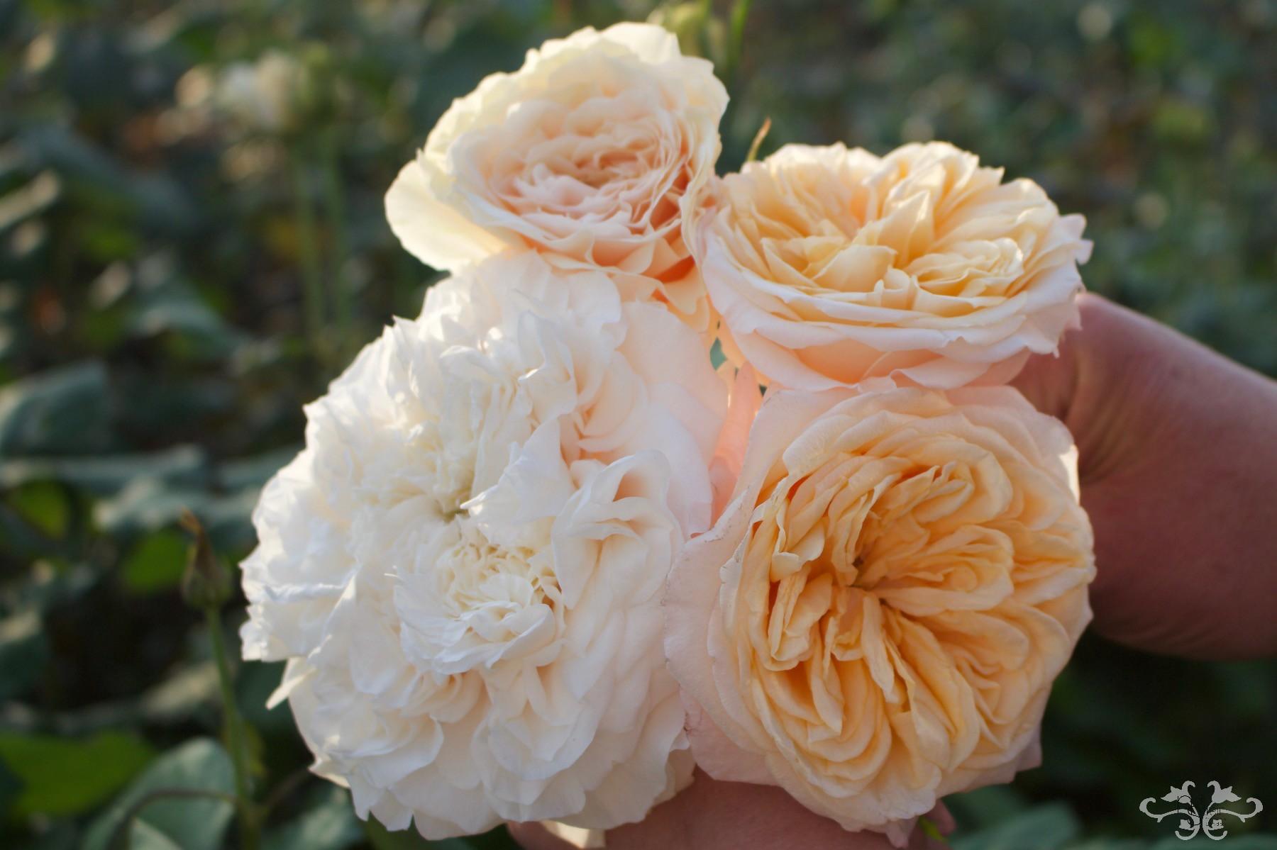 Victorian Peach IMG_9289.jpg