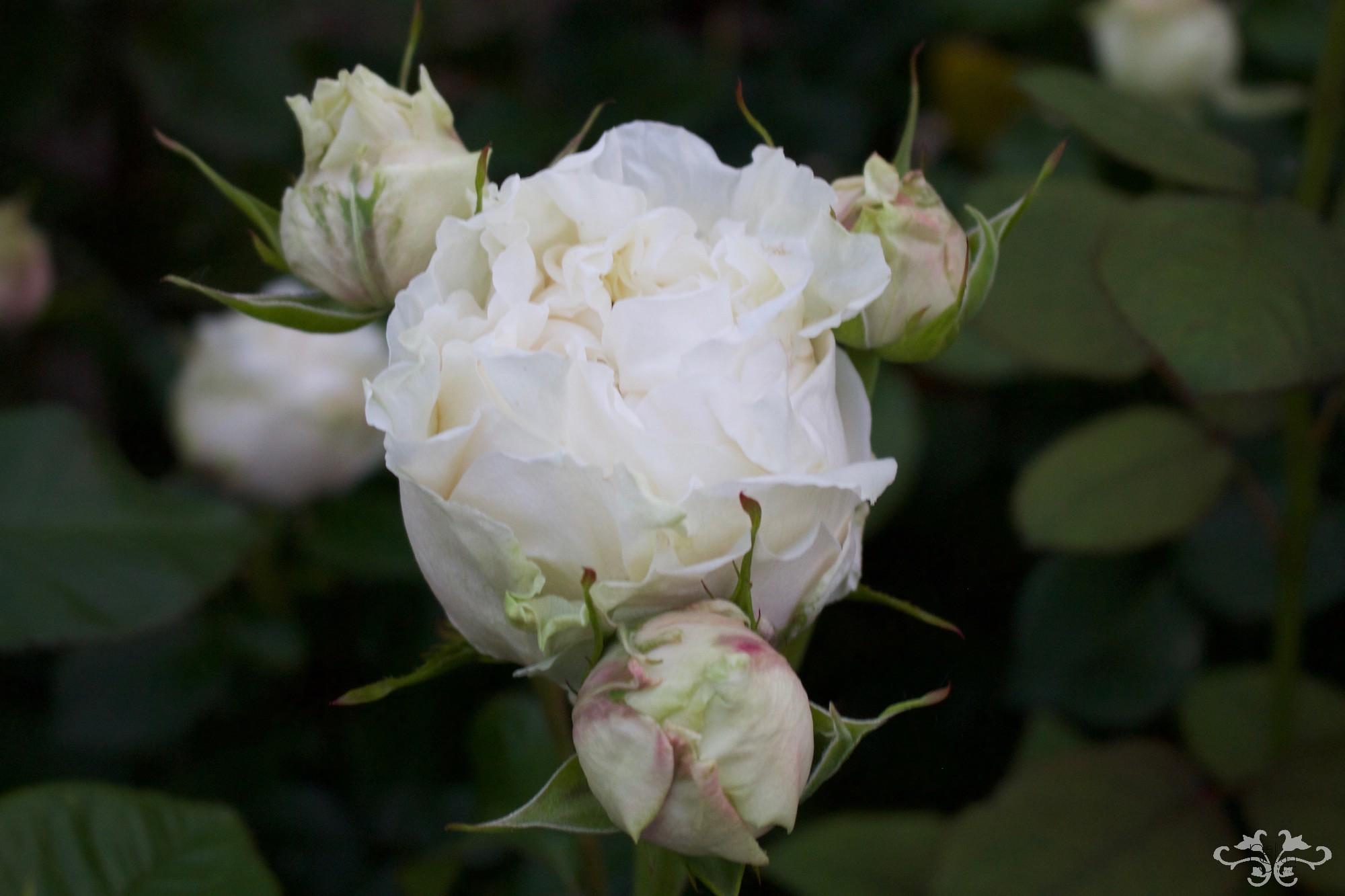 Belgravia Rose IMG_9390.jpg