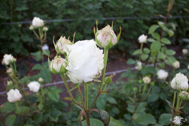 Belgravia Rose IMG_9384.jpg