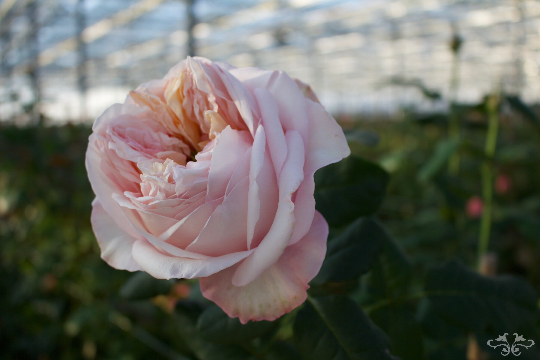 The Nottinghill Rose with its ruffled petals has a 4-piece heart observed best when fully open