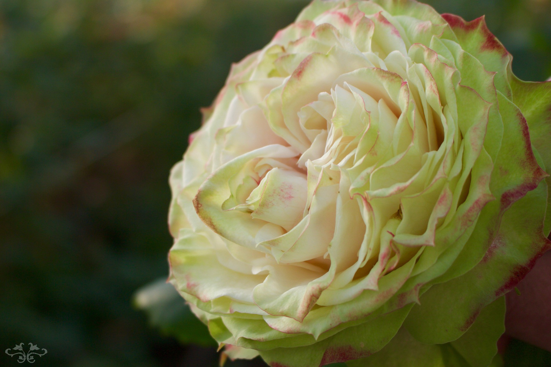The exquisite Applejack Rose available at Neill Strain Floral Couture