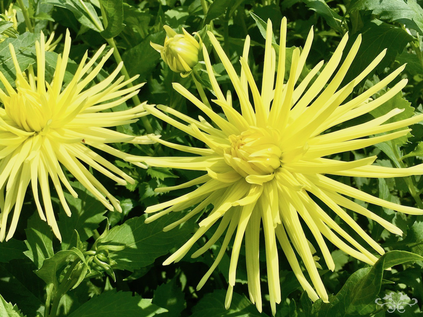 """Gryson's Yellow Spider"" Cactus Dahlia"