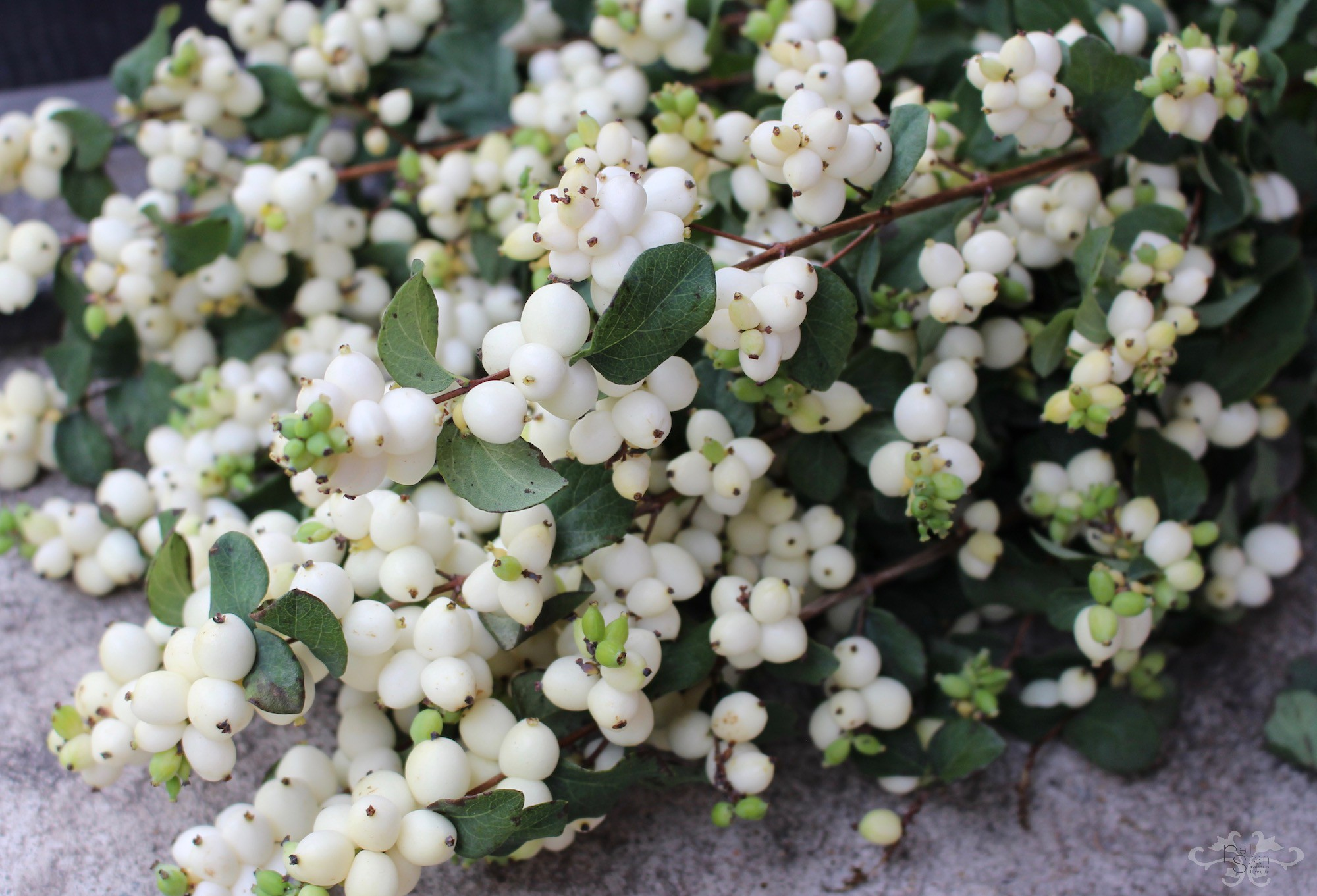 "Symphoricarpos ""Magic Lemon Lime"""