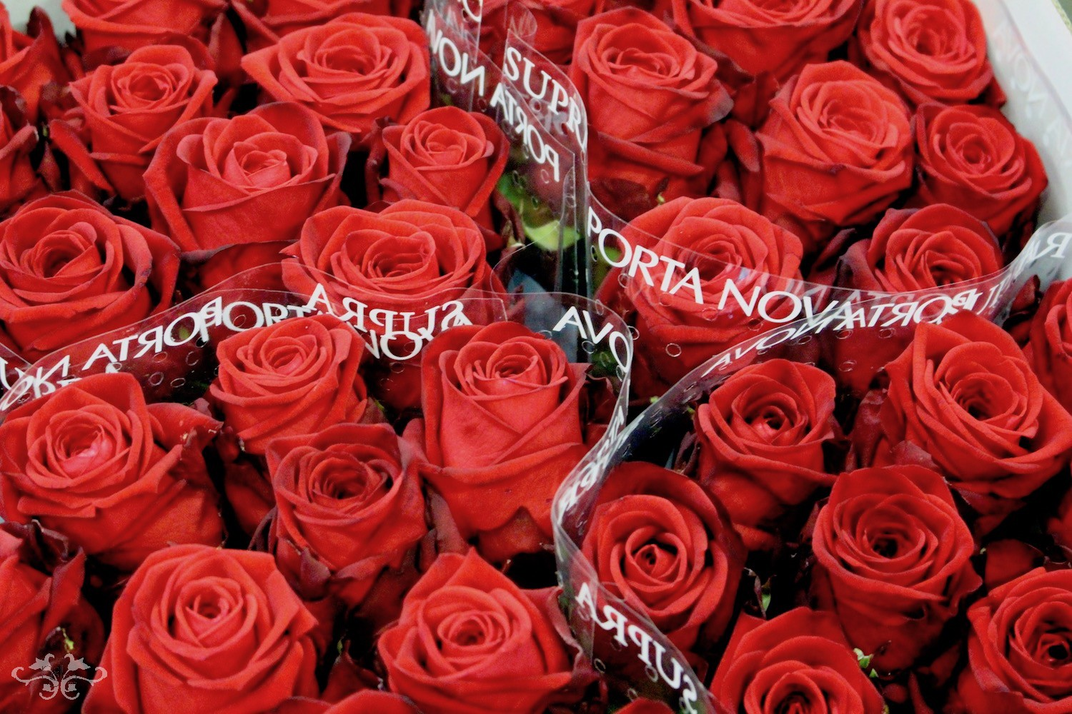 Red Naomi Roses at Porta Nova selected especially for Neill Strain Floral Couture for Valentine's Day
