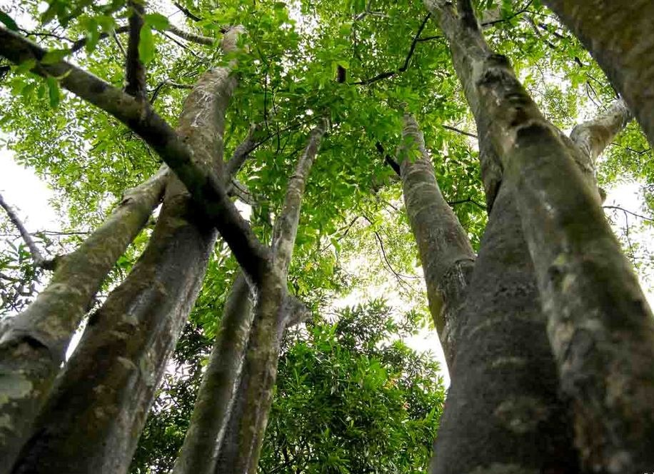 Agarwood Trees.jpg