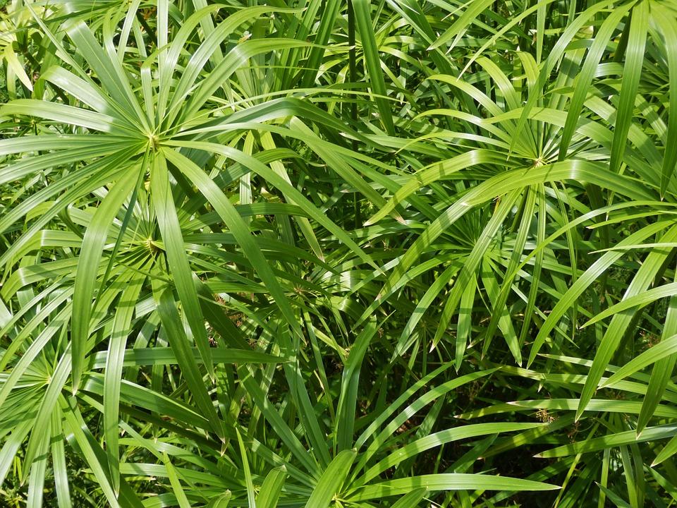 Papyrus Grass.jpg