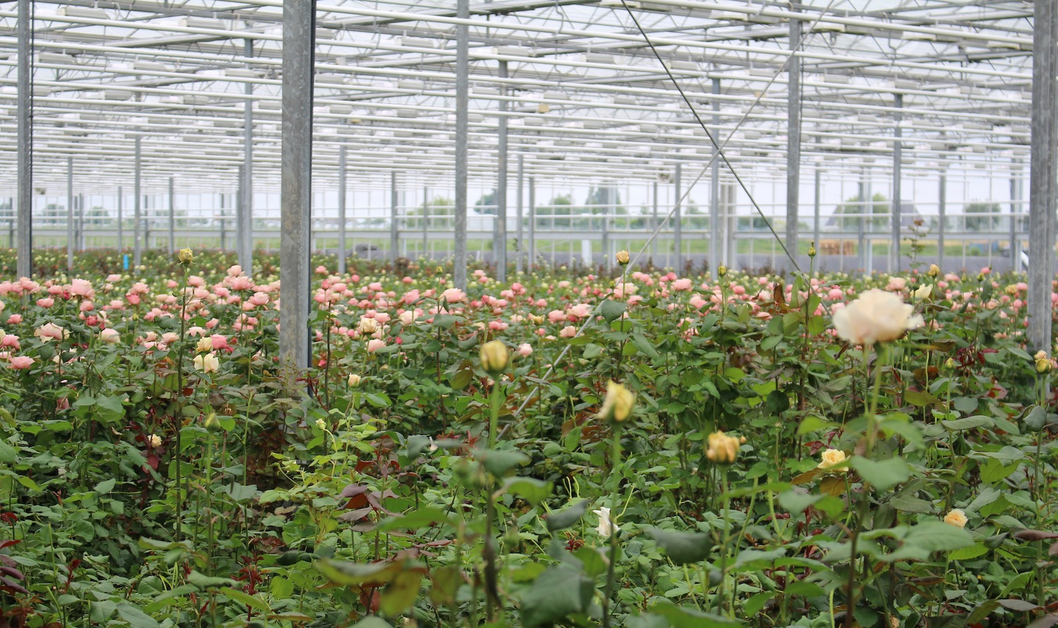 Roses growing at the VIP Roses glasshouse in Holland